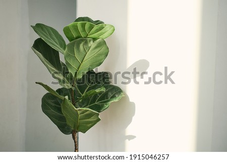 Green leaves of Fiddle Fig or Ficus Lyrata. Fiddle-leaf fig tree the popular ornamental tropical houseplant on white wall background,, Air purifying plants for home, Houseplants With Health Benefits Royalty-Free Stock Photo #1915046257