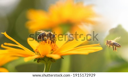 Bee and flower. Close up of a large striped bee collects honey on a yellow flower on a Sunny bright day. Macro horizontal photography. Summer and spring backgrounds Royalty-Free Stock Photo #1915172929