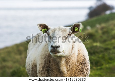Sustainable livestock concept. Sheep on a green field. Domestic furry and fluffy cute animal. Eco farmland, countryside, pasture, rural meadow. Close up portret picture with copy space
