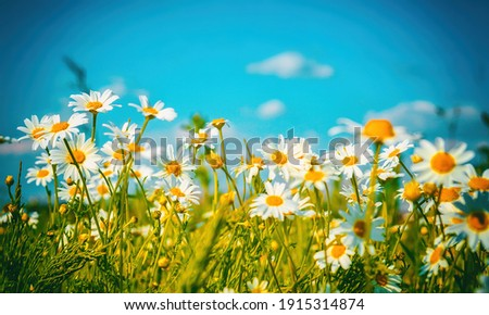 Flowers daisy close-up on a background of blue sky outdoors in nature. Natural beautiful colorful bright summer pastoral landscape.
