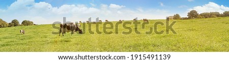 Cows grazing on a Field in Summertime - Cow Farm Panorama Royalty-Free Stock Photo #1915491139