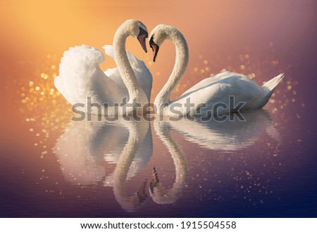 Couple of swans and reflection on the water Royalty-Free Stock Photo #1915504558