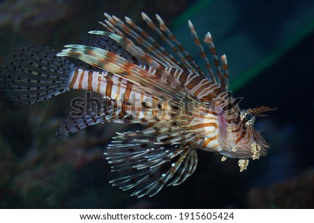 Beautiful floating lion fish. Zebra lion fish Pterois is a genus of venomous marine fish, commonly known as lionfish, native to the Indo-Pacific. Royalty-Free Stock Photo #1915605424