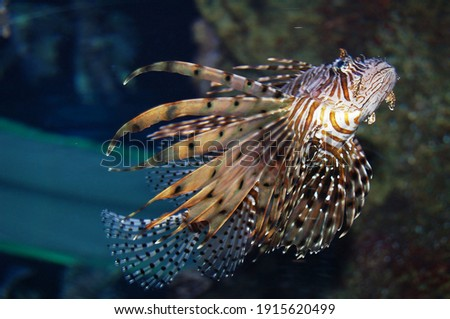 Beautiful floating lion fish. Zebra lion fish Pterois is a genus of venomous marine fish, commonly known as lionfish, native to the Indo-Pacific. Royalty-Free Stock Photo #1915620499