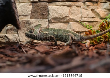 green chameleon in spots on a brick wall background. Animals,  Chordates, Reptiles,  Scaly Royalty-Free Stock Photo #1915644715