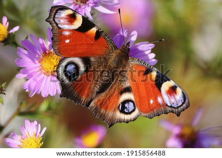 Aglais io or European Peacock Butterfly or Peacock. Butterfly on flower. A brightly lit red-brown orange butterfly with blue lilac spots on its spread wings sits on purple yellow flowers in sunlight. Royalty-Free Stock Photo #1915856488