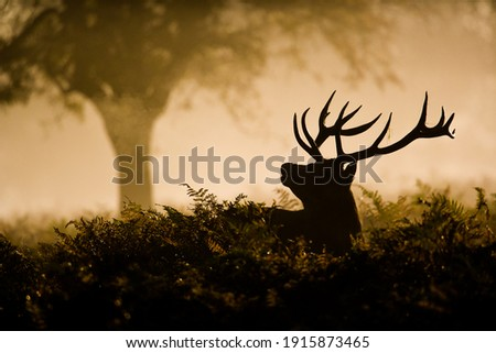 Red Deer stag in silhouette, scenting the air Royalty-Free Stock Photo #1915873465
