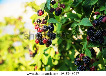 Blackberries grow in the garden. Ripe and unripe blackberries on a bush. food Royalty-Free Stock Photo #1915946047