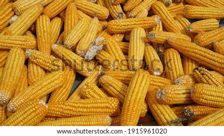 Close up photo of sun dried corn under direct sunlight, Post harvest orange corn exposed under the sun, naturally and cheap drying process. Suitable for backdrop, nature background or text copy space
