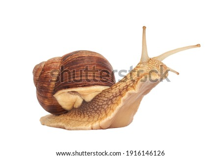 Grape snail isolated on a white background. Helix pomatia, burgundy snail, Roman snail, edible snail, escargot Royalty-Free Stock Photo #1916146126