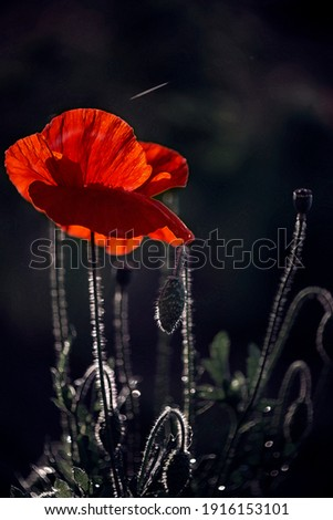 Textured large poppy.Poppy in the moonlight.Black background and red poppy.Backlight for poppy freshness.