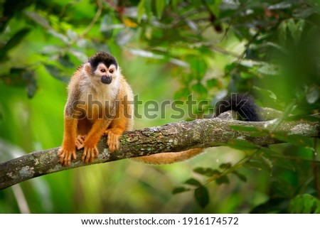 Central American squirrel monkey - Saimiri oerstedii also red-backed squirrel monkey, in the tropical forests of Central and South America in the canopy layer, orange back white and black face. Royalty-Free Stock Photo #1916174572