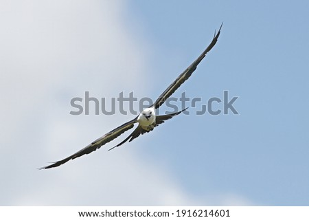 swallowtail kite (Elanoides forficatus) in flight with mouth open at camera with blue sky and clouds background
