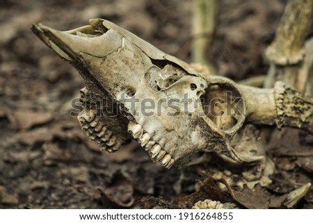 Picture of a white tail deer skull
