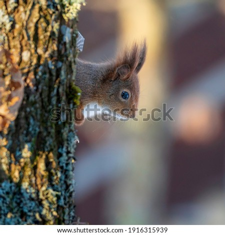 Close up of a curious little squirrel peeking out behind a tree trunk. The picture is taken in Sweden during winter.