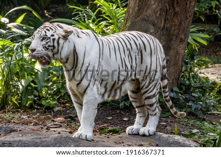 The white tiger with tongue out, it is a pigmentation variant of the Bengal tiger.  Such a tiger has the black stripes typical of the Bengal tiger, but carries a white or near-white coat. Royalty-Free Stock Photo #1916367371