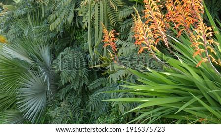 African flag orange flower blossom, Chasmanthe Floribunda natural botanical background. Exotic bloom in garden, gardening in California, USA. Vivid flora and lush foliage. Vibrant juicy plant colors.