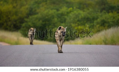 spotted hyena on the move on the road