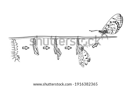Caterpillar to butterfly sketch and hand drawn vector. Metamorphosis of the Swallowtail