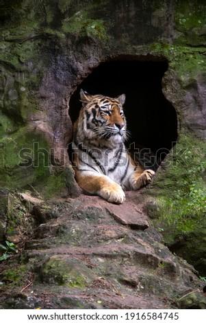 The Siberian tiger (Panthera tigris tigris) also called Amur tiger (Panthera tigris altaica) on alert Royalty-Free Stock Photo #1916584745