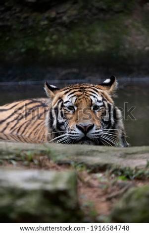 The Siberian tiger (Panthera tigris tigris) also called Amur tiger (Panthera tigris altaica) on alert Royalty-Free Stock Photo #1916584748