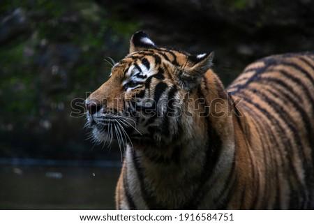The Siberian tiger (Panthera tigris tigris) also called Amur tiger (Panthera tigris altaica) on alert Royalty-Free Stock Photo #1916584751