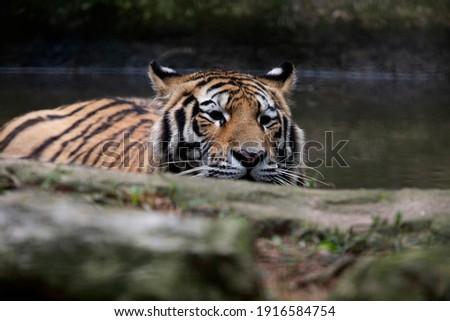 The Siberian tiger (Panthera tigris tigris) also called Amur tiger (Panthera tigris altaica) on alert Royalty-Free Stock Photo #1916584754