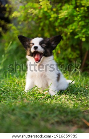 Beautiful little puppy of papillon breed in the summer garden Royalty-Free Stock Photo #1916659985
