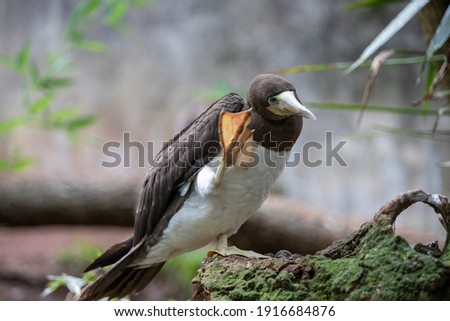 brown booby Sula leucogaster is a large seabird of the gannet family of the Abrolhos island at Bahia, Brazil Royalty-Free Stock Photo #1916684876