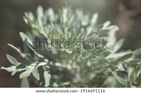 Flora of Gran Canaria - Artemisia thuscula, canarian wormwood flowers, natural macro floral background  Royalty-Free Stock Photo #1916691116