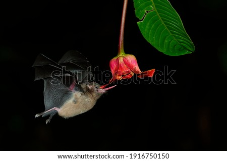 Pallas long-tongued bat (Glossophaga soricina)  South and Central American bat with a fast metabolism that feeds on nectar, flying bat in the night, feeding on the blossom. Royalty-Free Stock Photo #1916750150