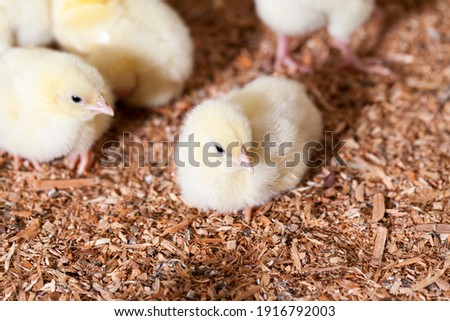 genetically enhanced white chicken chicks at a poultry farm where broiler chicken is raised for meat, many young meat chicken chicks