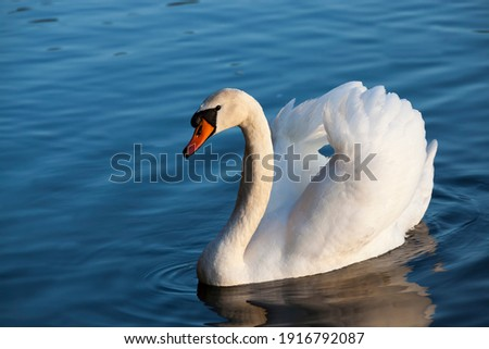 Swan in spring, beautiful waterfowl Swan on the lake in the spring, lake or river with a Swan Royalty-Free Stock Photo #1916792087