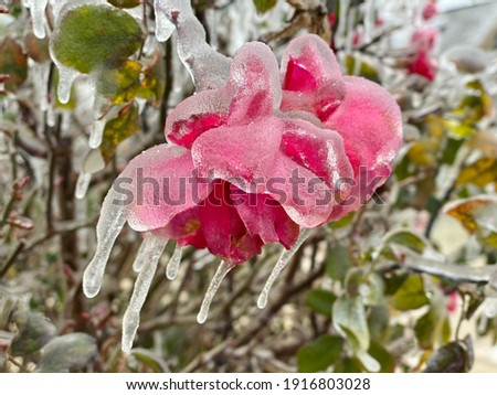 Winter storm in Austin Texas. A red rose is covered with ice. Freezing rain.  Winter scene. Anomaly weather. Frozen roses. Natural disaster Royalty-Free Stock Photo #1916803028