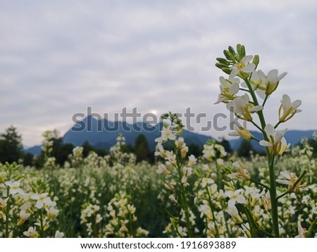 In the picture is Kale flowers