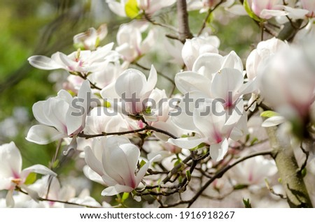 Beautiful magnolia tree blossoms in springtime. Jentle white magnolia flower against sunset light. Romantic floral background.
