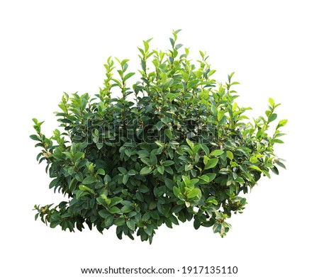 Tropical plant flower bush tree isolated on white background with clipping path Royalty-Free Stock Photo #1917135110
