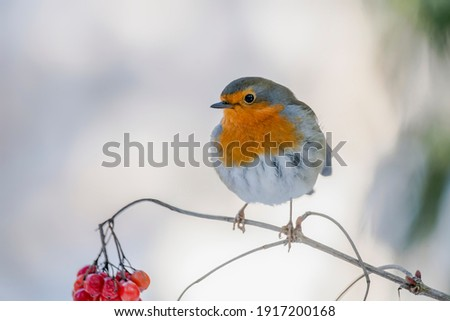 European Robin (Erithacus rubecula) on a branch with red berries in the forest of Noord Brabant in the Netherlands. copy space.