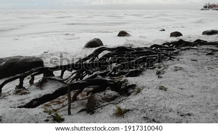 Wooden skeleton of exposed roots. Winter, coast of the Gulf of Fink. The roots of an old tree stick out from under the snow. the roots are open like a sklket. Nearby are several large cobblestones. Royalty-Free Stock Photo #1917310040