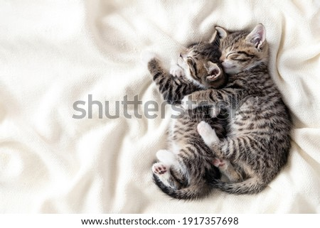 Two small striped domestic kittens sleeping hugging each other at home lying on bed white blanket funny pose. cute adorable pets cats. Copyspace. Royalty-Free Stock Photo #1917357698
