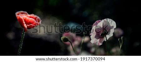 Dark background and red poppy.Poppy lawn.Panoramic picture of poppy freshness.