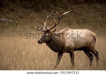 Three Quarter View of Walking Bull Elk in Cataloochee valley Royalty-Free Stock Photo #1917497111