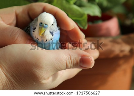 A budgie in the hands of a man. The owner put his hands around the blue parrot. A tame bird. Friendship between a man and a bird. Royalty-Free Stock Photo #1917506627