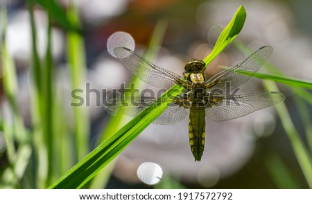 Close-up of Broad-bodied chaser dragonfly female (Libellula depressa) with large transparent wings and honey brown color body sitting on grass on blurred green garden pond background. Macro of insect. Royalty-Free Stock Photo #1917572792
