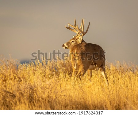Whitetail Deer Trophy Buck in Fall Royalty-Free Stock Photo #1917624317