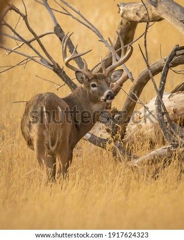 Whitetail Deer Trophy Buck in Fall Royalty-Free Stock Photo #1917624323