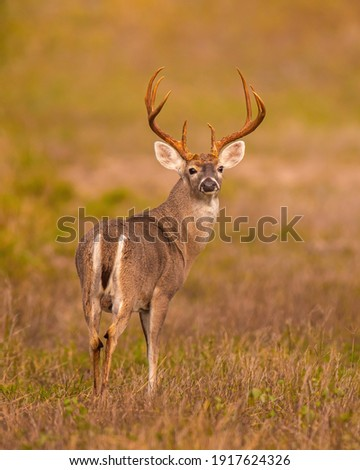 Whitetail Deer Trophy Buck in Fall Royalty-Free Stock Photo #1917624326