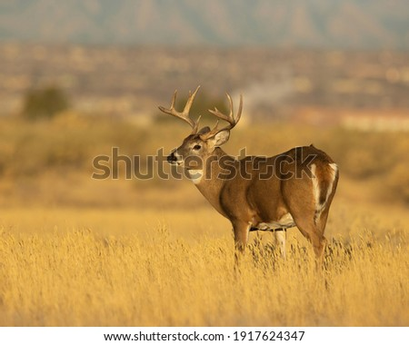 Whitetail Deer Trophy Buck in Fall Royalty-Free Stock Photo #1917624347