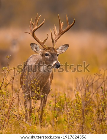 Whitetail Deer Trophy Buck in Fall Royalty-Free Stock Photo #1917624356