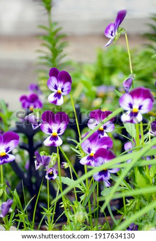 blue and white pansy flowers in garden. blooming spring flowers.